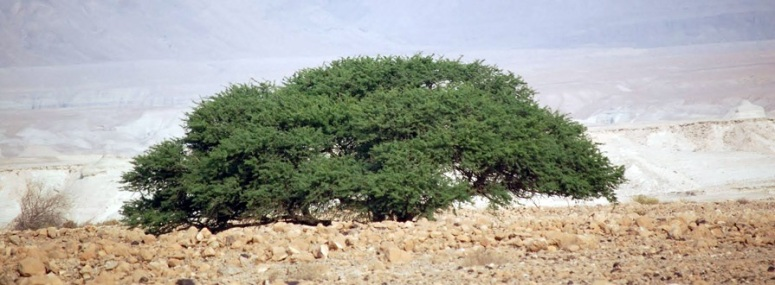 broom-tree